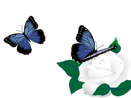 Twee blauwe vlinders en de witte roze bloem