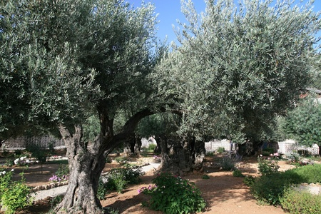 Olive trees in Garden of Gethsemane, Jerusalem Stock Photo - 17422760