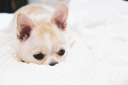 Chihuahua dog lying on a bed with a white sheet.