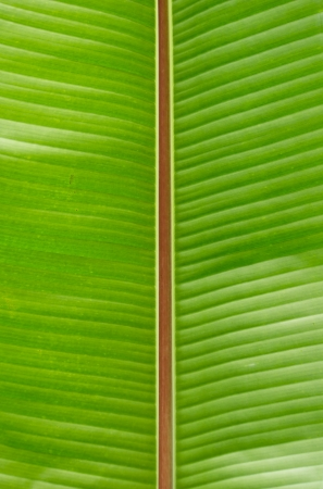 red line in the middle of green banana leaf,Thailand photo