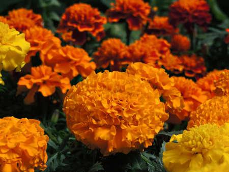 Marigold flower field orange Stock Photo
