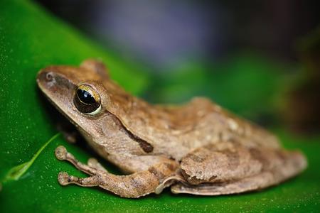 common hop: Macro of a frog. Focus on eye, shallow DOF.