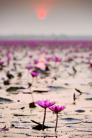 Sunshine rising lotus flower photo
