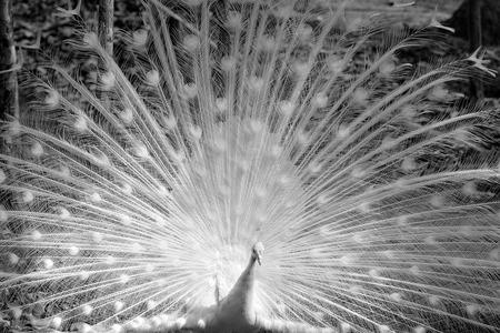Pavone bianco mostra la sua coda in bianco e nero Archivio Fotografico - 28825593