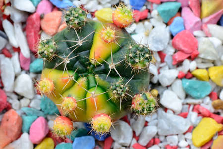 Cactus on colorful pebbles background photo