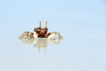 vilamendhoo: horn-eyed ghost crab on the beach, thailand