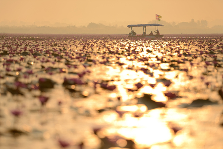 Sunshine sea of pink lotus (unseen in Thailand) photo