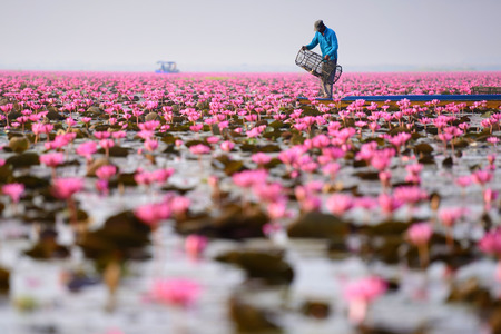 unseen: Sea of pink lotus (unseen in Thailand) Stock Photo