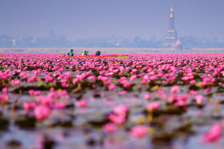 nympha: Sea of pink lotus (unseen in Thailand) Stock Photo
