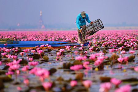 thani: Sea of pink lotus (unseen in Thailand) Stock Photo