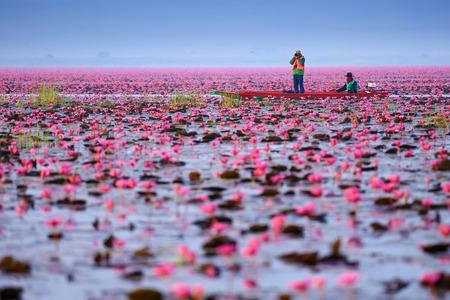 Mare di loto rosa (non visto in Thailandia) Archivio Fotografico - 31088447