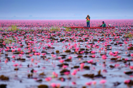 Sea of pink lotus (unseen in Thailand) Stok Fotoğraf - 31088447