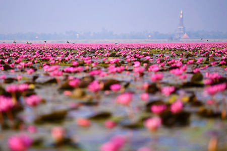 thani: Sea of pink lotus (unseen in Thailand)