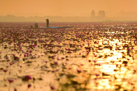 nympha: Sunshine sea of pink lotus (unseen in Thailand)
