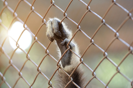 cage gorilla: Monkey hand on the cage Stock Photo