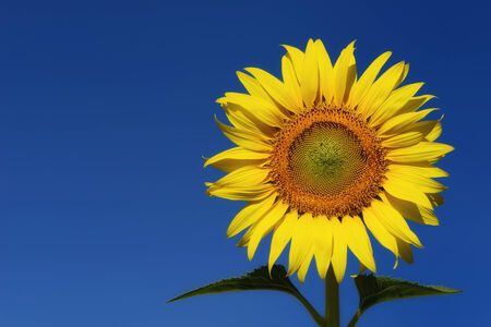 Sunflower and  blue sky background 写真素材