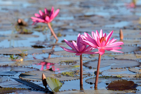 nympha: Sea of pink lotus,Nong Han, Udon Thani, Thailand (unseen in Thailand)
