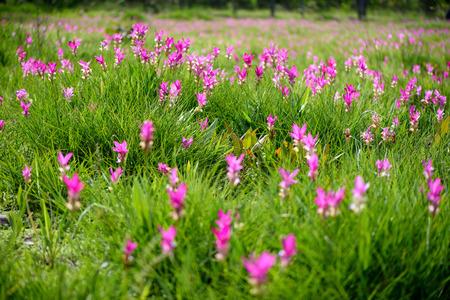 Bei tulipani del Siam sul campo al giorno soleggiato, in Sai Thong National Park, provincia di Chaiyaphum, Tailandia Archivio Fotografico - 74748967