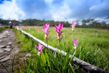 Bei tulipani del Siam sul campo al giorno soleggiato, in Sai Thong National Park, provincia di Chaiyaphum, Tailandia Archivio Fotografico - 74680742