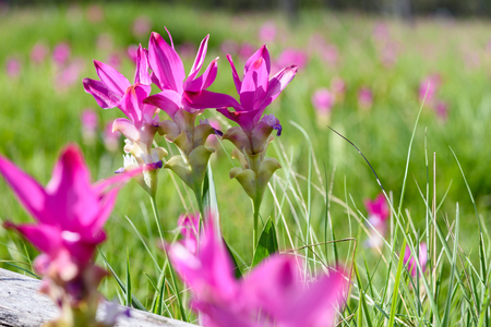 beautiful siam tulips on the field at sunny day, in Sai Thong National Park, Chaiyaphum province, Thailand Stok Fotoğraf - 75723372