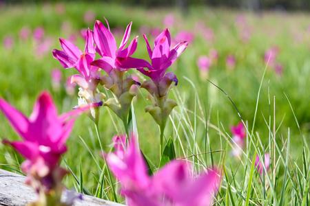 Bei tulipani del Siam sul campo al giorno soleggiato, in Sai Thong National Park, provincia di Chaiyaphum, Tailandia Archivio Fotografico - 75723372