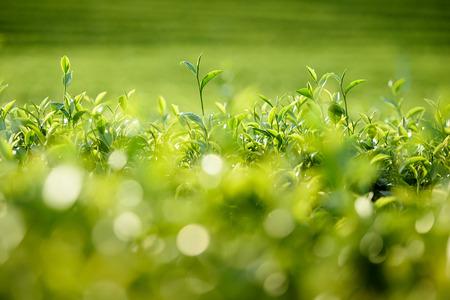 Green tea leaves in a tea plantation.