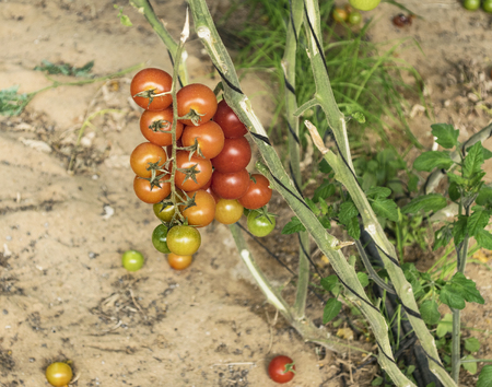 closeup of ripe and green cherry tomatoes on a vine cultivated in a semi-shady greenhouse showing drip irrigation and the support system