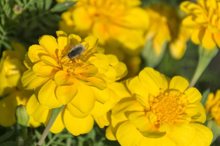 tiny beefly on yellow dwarf french marigolds