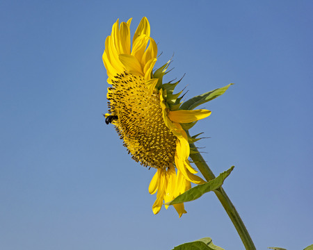 bumblebee on giant sunflower with clear blue sky Stock Photo