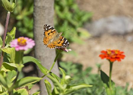 orange painted lady butterfly on zinnia flower