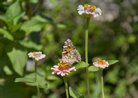 profile of orange painted lady butterfly on zinnia flower