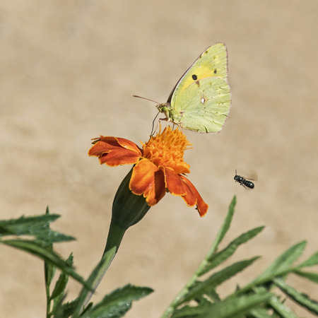 pastel butterfly on marigold being chased by gnat