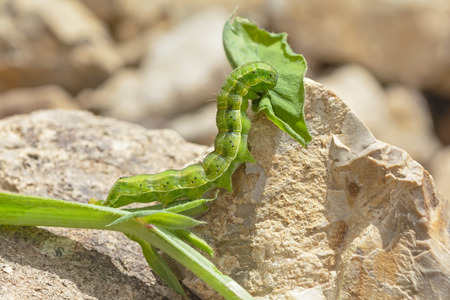 macro of a green and yellow striped bordered straw moth larva eating a sweet pea leaf Stock Photo