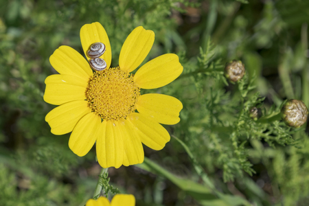 a single yellow crown daisy with two snails on one petal with blurred foliage in the background Banco de Imagens