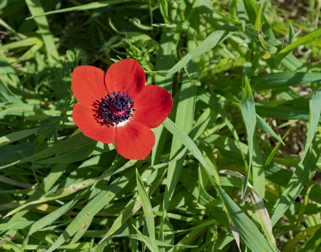 a single red crown anemone growing out of a field of wild grasses in the ruhama forest of israel