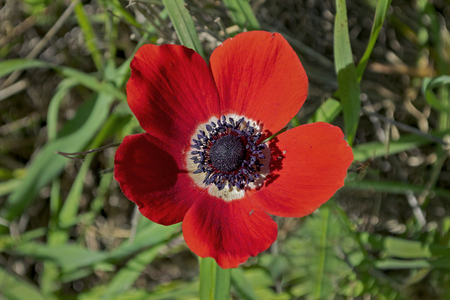 closeup of a single red crown anemone growing among wild grasses in the ruhama forest of israel