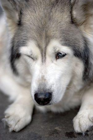 Portrait of husky dog blink photo