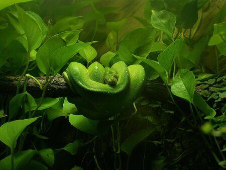 vivarium: Green tree python - Chondropython viridis