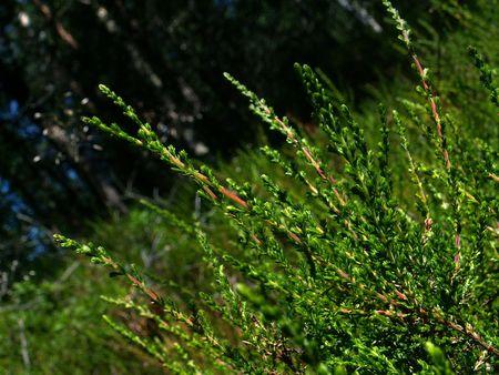 underbrush: Heather