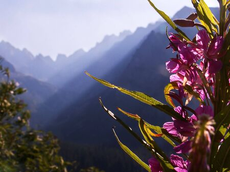 angustifolium: Cahmerion angustifolium - The High Tatras