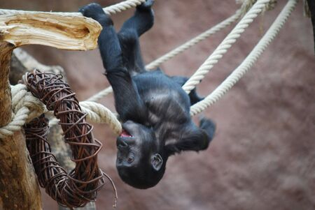 picture of a playing  little gorilla photo