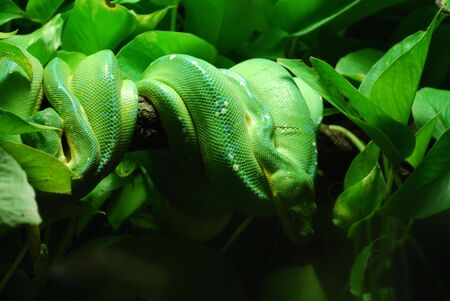 pythons: green tree pythons in prague zoo Stock Photo