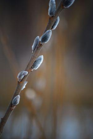 cetrino: cetrino sucursal en la primavera