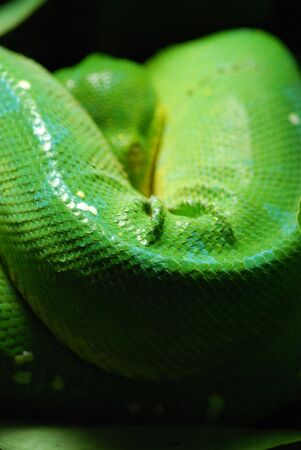 pythons: green tree python in Prague zoo