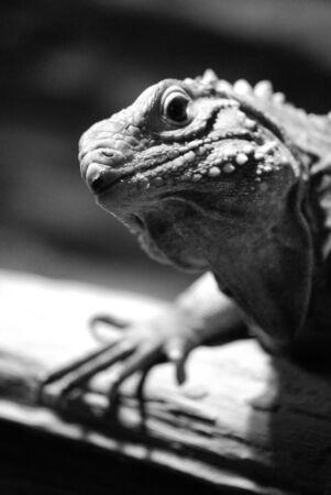 vivarium: picture of iguana in Prague zoo