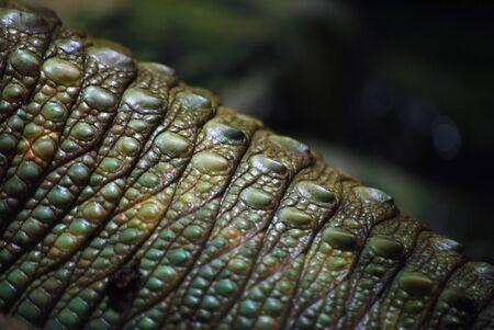 vivarium: Dracena guaianensis Stock Photo