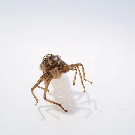 incest: dragonfly larva