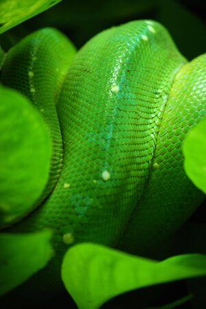 vivarium: green tree python skin