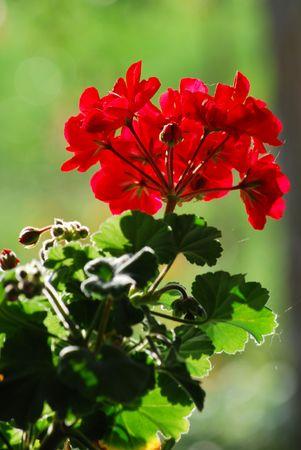 pelargonium: pelargonium Stock Photo