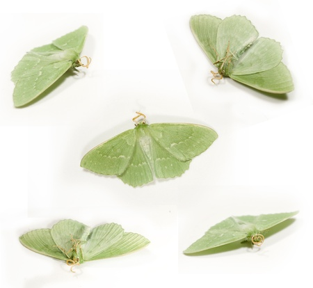 incest: green butterfly on the white background